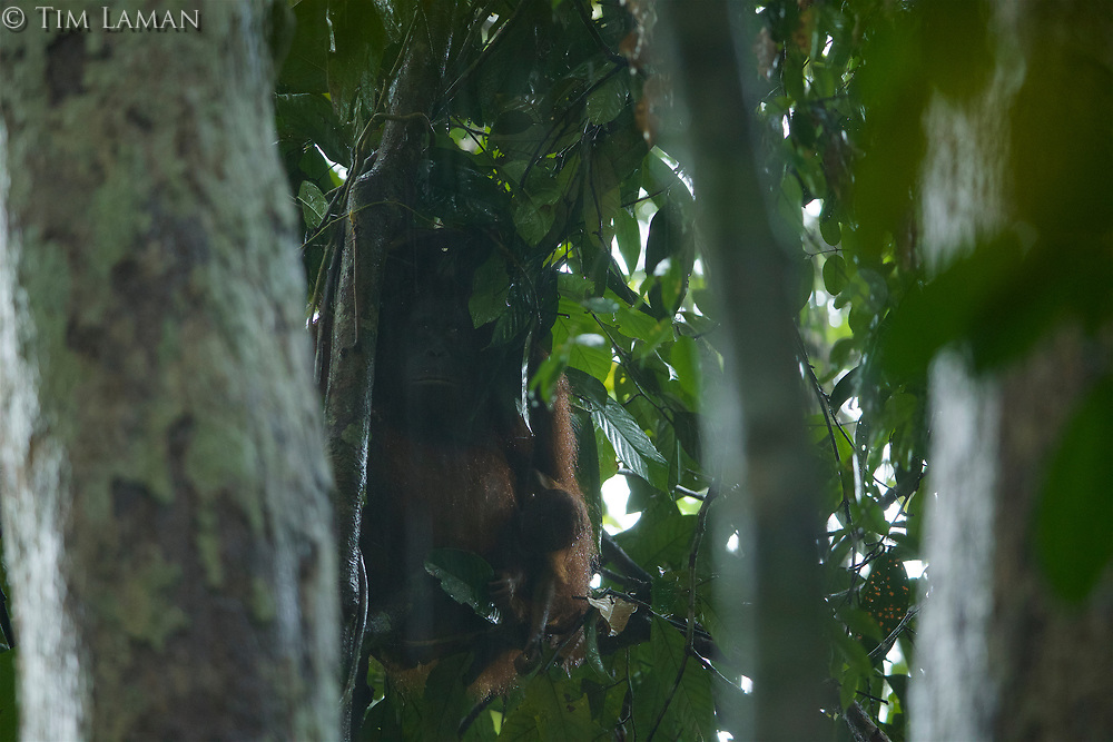 Adult female Walimah with one month old infant.<br />In heavy rain, taking shelter with a &quot;cape&quot; of leafy branches heald over head and back.  But note branches still attached to tree.  Distinct from typical &quot;leaf umbrella&quot; where branches are broken off.<br /><br />Bornean Orangutan <br />Wurmbii Sub-species<br />(Pongo pygmaeus wurmbii)<br /><br />Gunung Palung Orangutan Project<br />Cabang Panti Research Station<br />Gunung Palung National Park<br />West Kalimantan Province<br />Island of Borneo<br />Indonesia