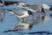 Bonaparte's Gull (Larus philadelphia) in rock pools, Kye Bay beach at low tide, Comox, Vancouver Island, Canada   Photo: Peter Llewellyn