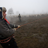 Hirvas Salmi, FINLAND.  October 15, 2007- Veggai, 58, reigns in a calf after lassoing with a 40m throw. A champion lasso thrower throughout Scandanavia in his younger years, he learned to throw the lasso when he learn how to walk.