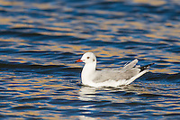 Juvenile Grey Headed Gull floating on the water, Sundays River Estuary, Algoa Bay, Eastern Cape, South Africa