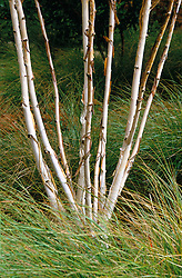 Silver bark of Betula jacquemontii syn. Betula utilis jacquemontii surrounded by Stipa arundinacea at Worthing Hospital