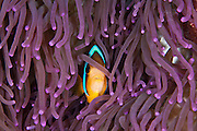 Clark's Anemonefish hiding amongst purple tentacles, Palau Micronesia. (Photo by Matt Considine - Images of Asia Collection)