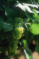 grapes in South Africa..Trauben in S?dafrika..© Owen Franken