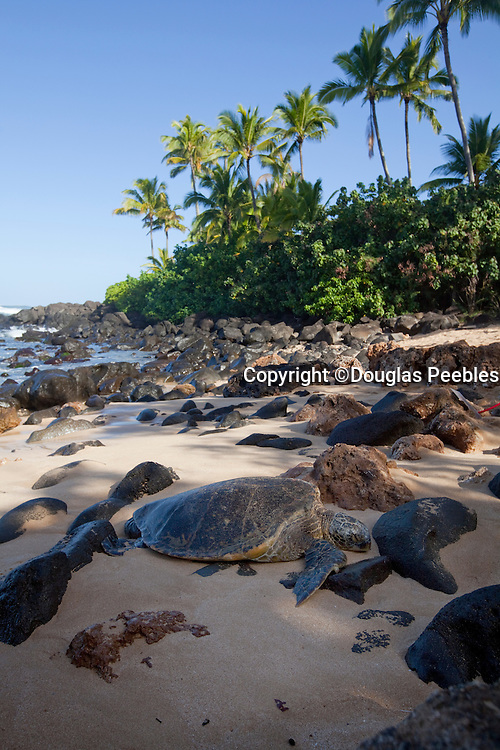 Hawksbill Turtle, Laniakea Beach, North Shore, Oahu, Hawaii