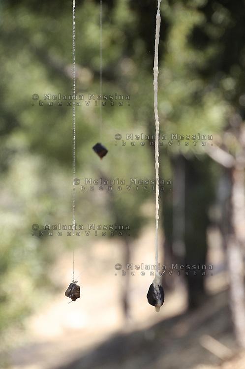 Castelbuono,  manna nel frassineto.<br /> Castelbuono: manna in the wood ash.