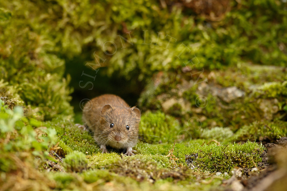 Bank Vole (Clethrionomys glareolus) adult emerging through gap in a pile of old moss-covered bricks, South Norfolk, UK. September.