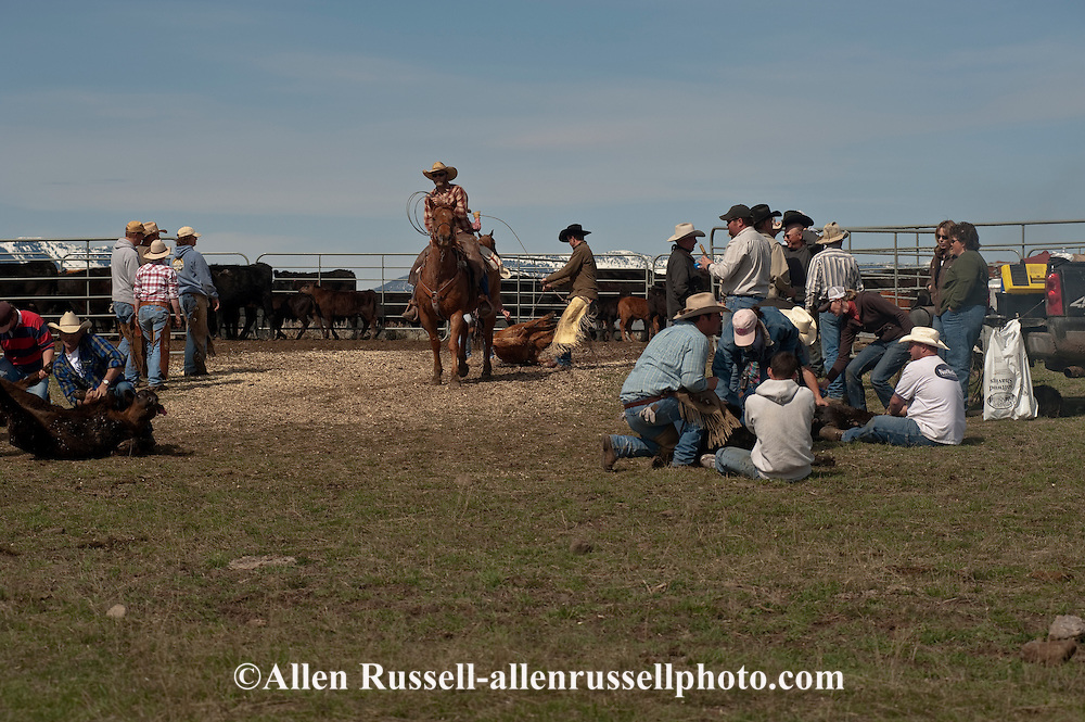 Cowboy ropes and drags calves to the fire to be branded, Wilsall, Montana, Crazy Mountains