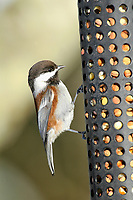 Chestnut-backed Chickadee (Poecile rufescens), eating peanuts from a feeder Courtenay, British Columbia, Canada