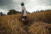 Apr. 22 - UBUD, BALI, INDONESIA:  A man harvests rice in his paddy near Ubud, Bali, Indonesia. Rice is an integral part of the Balinese culture. The rituals of the cycle of planting, maintaining, irrigating, and harvesting rice enrich the cultural life of Bali beyond a single staple can ever hope to do. Despite the importance of rice, Bali does not produce enough rice for its own needs and imports rice from nearby Thailand.   Photo by Jack Kurtz/ZUMA Press.