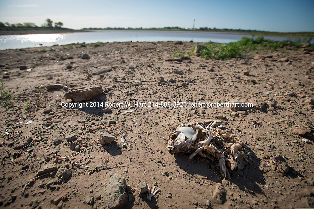 Remains of a fish left high and dry by the receding waters of Lake Arrowhead at Lake Arrowhead State park near Wichita Falls, Texas on April 28, 2014. Lake Arrowhead State park is just south of Wichita Falls, Texas and the lake provides the town with drinking water.