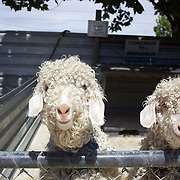 Sheep at The Hawke's Bay Farmyard Zoo. The zoo provides  educational opportunities with animal feeding for children and a safe, clean spacious environment with many different varieties of farmyard animals. Hawke's Bay Farmyard Zoo, East Road. Haumoana, Hastings. Hawkes Bay, New Zealand. 12th January 2011. Photo Tim Clayton..