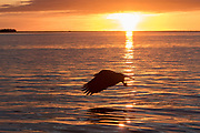 Bald eagle in Alaska at sunset