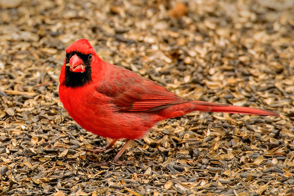 A male Northern Cardinal (Cardinalis cardinalis) stands in a bed of black oil sunflower seed shells as he forages for food.  The Northern Cardinal has a body length of 8-9 inches and a wingspan of 10-12 inches.  The male is a vibrant red, while the female is a dull red-brown shade. The Northern Cardinal is mainly granivorous, but also feeds on fruit or insects.  The cardinal was once prized as a pet, but its sale as cage birds is now banned in the United States by the Migratory Bird Treaty Act of 1918.