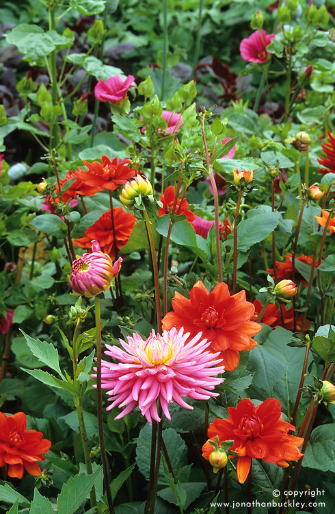 Dahlia 'Autumn Lustre' & D. 'Kathleen's Alliance' with Malope trifida 'Vulcan'