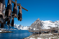 Drying cod to produce traditional stockfish on outdoor racks in Reine in Lofoten Islands in Norway