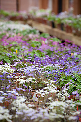 The hepatica greenhouse at Ashwood Nurseries