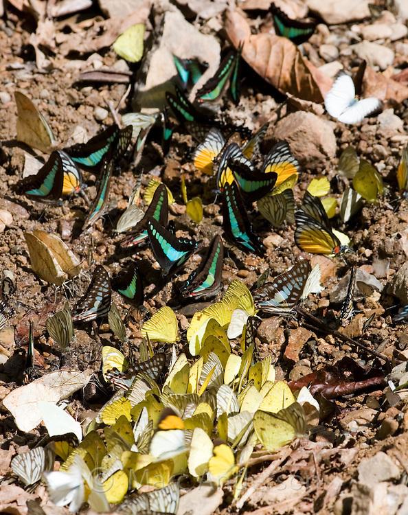 Large mixed species group of butterflies feeding on the ground, Kaeng Krachan National Park, Thailand