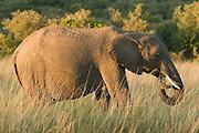 African elephant eating branches, Masai Mara, Kenya