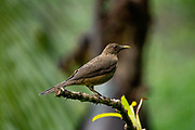 The clay-colored thrush (Turdus grayi) is a common Middle American bird of the thrush family (Turdidae). It is the national bird of Costa Rica, where it is well known as the yiguirro. Other common names include clay-colored robin. Photographed in Costa Rica in June