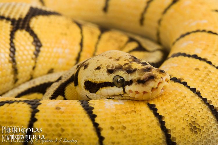 Python regius forme Bumble bee