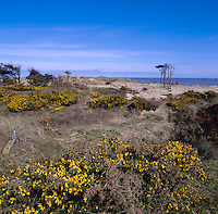 Gorse scrub in the fixed dunes at Formby Point