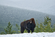 Wood bison (Bison bison athabascae) in early snowfall in the Northern Rocky Mountains<br />