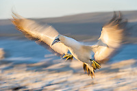 Blurred flight of a Cape Gannet, Malgas Island, West Coast National Park, Western Cape, South Africa