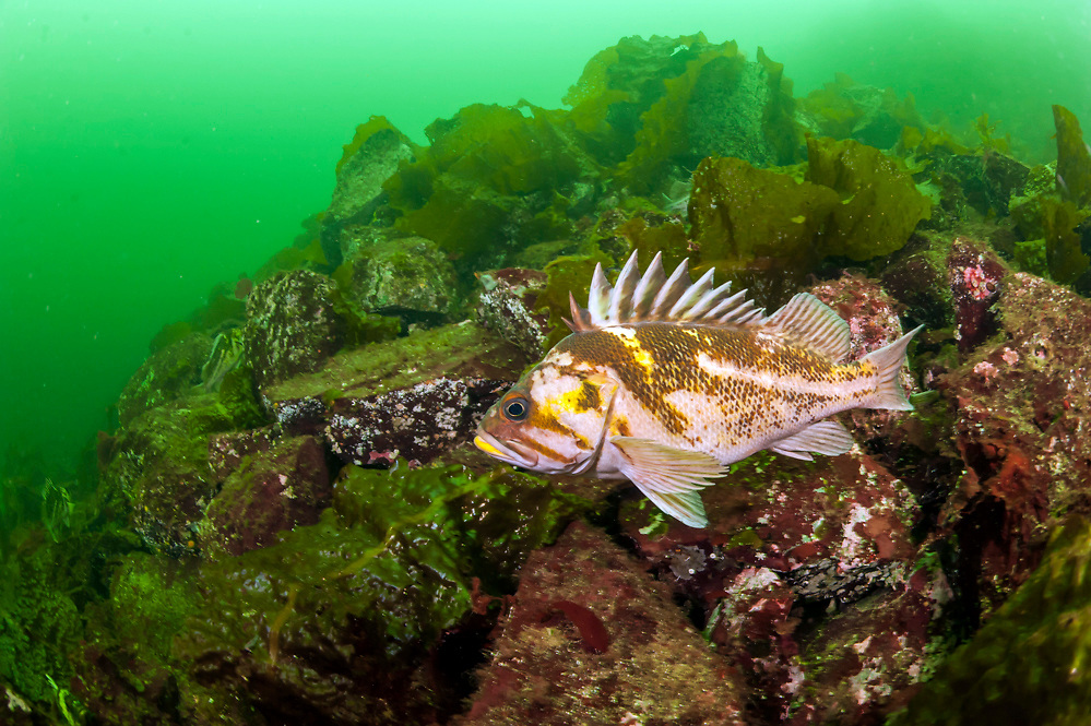 A Copper Rockfish, Sebastes caurinus, swims among the kelp offshore Nanaimo, Vancouver Island, British Columbia, Canada