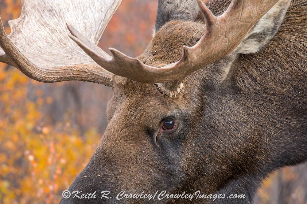 Close-up of an Alaskan bull moose in habitat