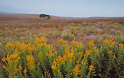 Goldenrod blooms on the praire at the Tall Grass Praire National Preserve, Kansas