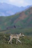 Wildlife: Wolf