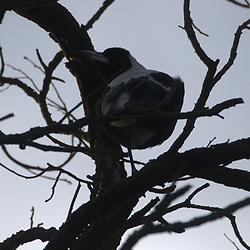 Australian Magpie (Cracticus tibicen), Eltham College Environmental Reserve, Research, Victoria, Australia