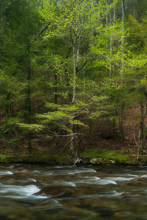 Spring, Little River, Tennessee.   Fresh water, clear and fast, moves through the steep hillsides, heading towards Metcalf Bottoms.  It's spring in the Smokies, new leaves are still wrinkled green claws, and flowers adorn the branches and flesh out on hillsides.  Here on the banks, the white noise of the river is the only audio I hear--no phones, no questions, no cacophony of machines.  The change from the barreness of winter is dramatic.  Small wonder that spring is connected with  love. Life is new , the air is fragrant and fresh, color is intense after the long brown months.  Spring makes the blood quicken, like the water rushing by me. I wish I could stop it here, hold it, make it last.  But seasons are time, on the move like the river.  Dogwood arms usher it ahead in the direction of flow. I take a deep breath, inhaling hope and anticipation, and head downstream.
