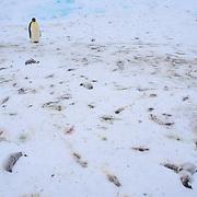 An adult emperor penguin among dead chicks on the Riiser-Larsen Ice Shelf in Antarctica.