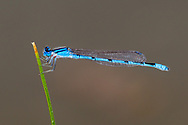 Familiar Bluet (Enallagma civile) - male<br /> United States: Texas: Midland Co.<br /> Sibley Nature Preserve; Midland<br /> 12-Aug-2017<br /> J.C. Abbott #2975