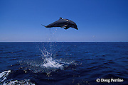 bottlenose dolphin, Tursiops truncatus (c-r)<br /> jump sequence (#2 of 3)<br /> Roatan, Honduras ( Caribbean Sea )