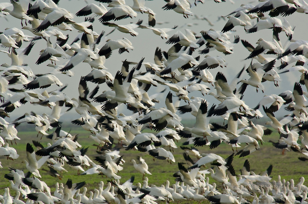 Flocks of Ross's Geese take off from field during migration, Merced National Wildlife Refuge, Central Valley, California