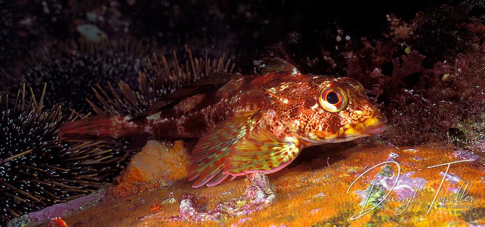 Thornfish, (Bovichtus variegatus) Doubtful sound, Fiordland, New Zealand