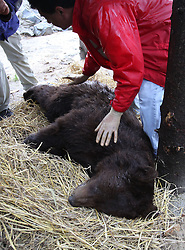 Rescued  - Masha the brown bear. <br /> Masha the bear rescued from a group of mafia who ran a bear bating tournaments. Masha being laid on a bed of straw at her new home at the Four Paws sanctuary 100 miles outside Kiev Ukraine, Ukraine, Monday, 2nd September 2013. Picture by Roger Allen / i-Images