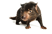 Tasmanian devil studio portraits, photographed at and with the help of Trowunna Wildlife Park in Mole Creek, Tasmania.