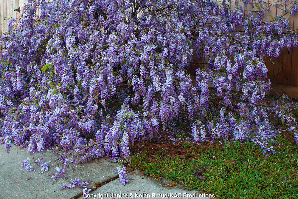Wisteria, Wisteria sp., along a fence in a neighborhood in Spring, Texas. Wisteria is a genus of flowering plants in the pea family, Fabaceae. Wisteria vines climb by twining their stems either clockwise or counter-clockwise round any available support.