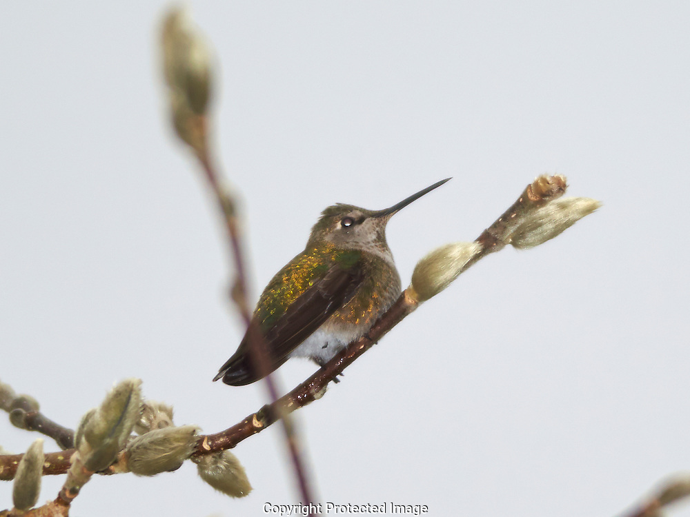 Hummingbird in Tacoma on Friday, Jan. 17, 2014. (Photo/John Froschauer)