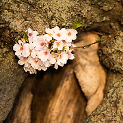 A small bunch of cherry blossoms grow out of a small branch coming directly out of the trunk of a cherry tree at the Tidal Basin in Washington Dc.