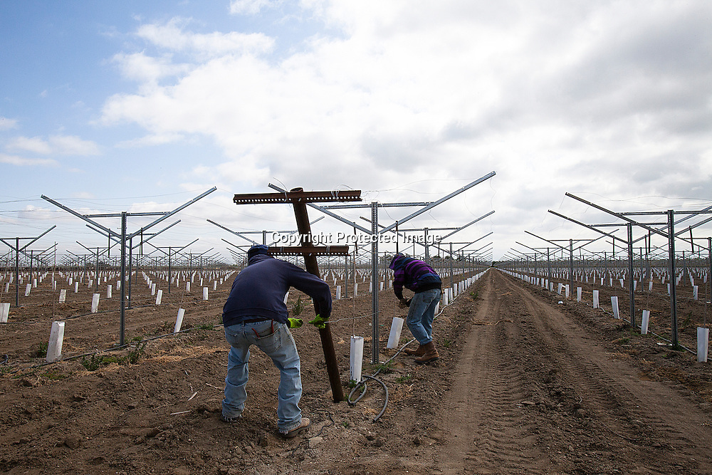 Workers adjusting wires in recently planted grapes vine located in McFarmland.