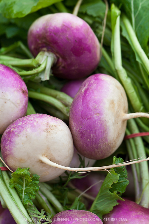 Violet top Milano Turnips (Rapa di Milano Colletto Viola).