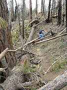 Trees fell this past winter in an area compromised by the Aspen Fire of 2003 after heavy snowfall and storms on Mount Lemmon in the Santa Catalina Mountains, Coronado National Forest,a Sky Island in the Sonoran Desert near Tucson, Arizona, USA.  The area shown is along Marshall Gulch Trail.
