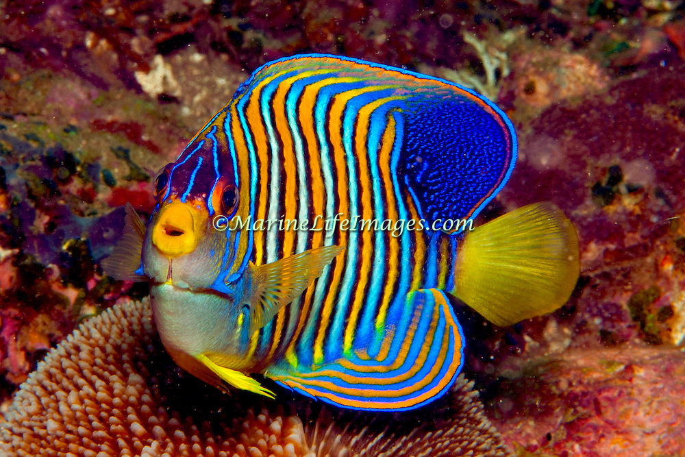 Regal Angelfish inhabit reefs. Picture taken Philippines, Dumaguete.
