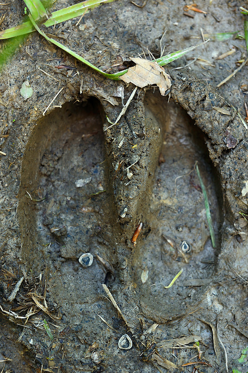 Footprint of European bison, Bison bonasus, in the Tarcu mountains nature reserve, Natura 2000 area, Southern Carpathians, Romania. The release was actioned by Rewilding Europe and WWF Romania in May 2014.