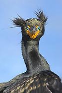 Double-crested Cormorant - Phalacrocorax auritus - breeding plumage