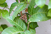 Moth on a passion fruit plant